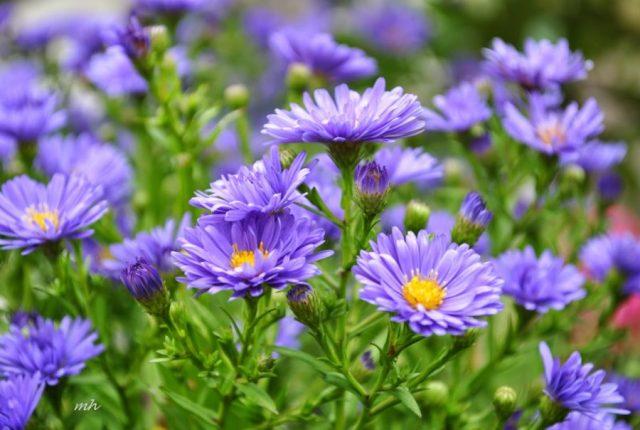 những loài hoa sinh nhật màu tím tặng bạn gái