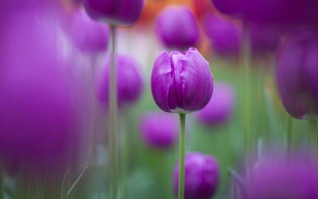 Hoa tulip tím tặng bạn gái