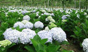 Cách chăm sóc hoa cẩm tú cầu tươi lâu nhất mà bạn nên biết