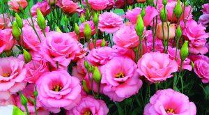 Ý nghĩa của hoa cát tường – loài hoa may mắn