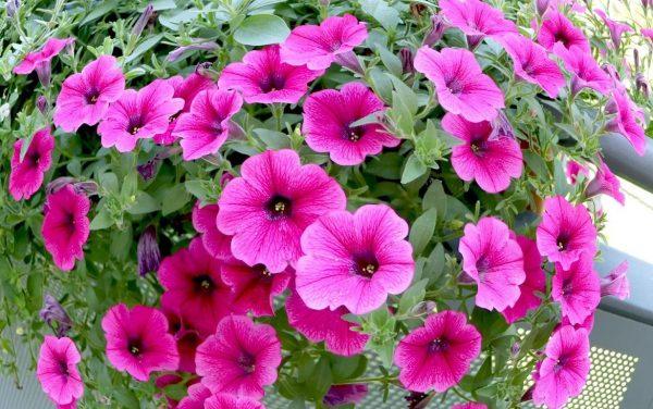 Hoa dạ yến thảo sống được bao lâu, bạn có biết?