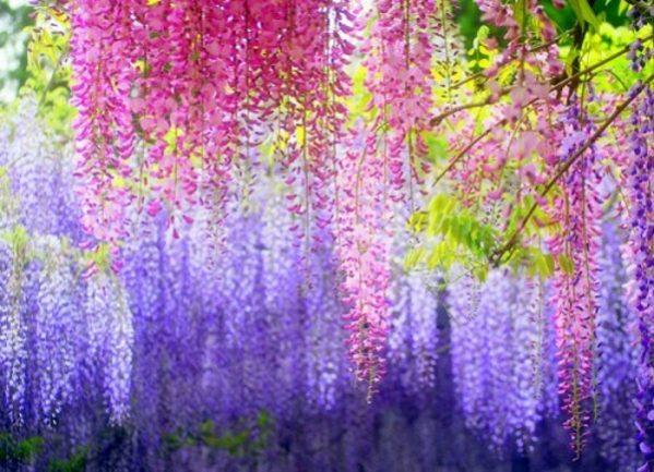 Ý nghĩa của hoa tử đằng – tình yêu thiêng liêng