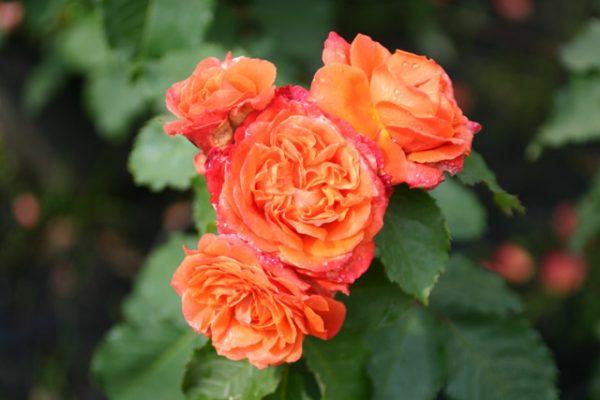 Các loại hoa hồng màu cam xinh xắn dễ trồng cho vườn nhà bạn