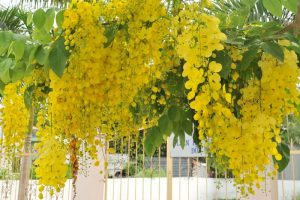 Quốc hoa của Thái Lan – hoa hoàng yến