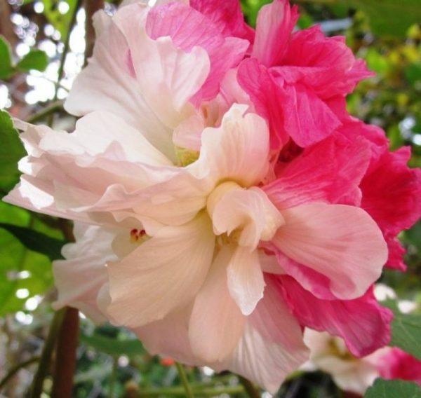 Ý nghĩa của hoa phù dung – loài hoa mong manh