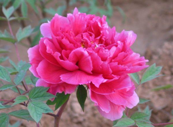 Ý nghĩa của hoa phù dung – loài hoa mong manhd