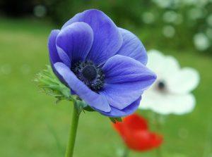 Ý nghĩa của hoa hải quỳ– loài hoa mộc mạc
