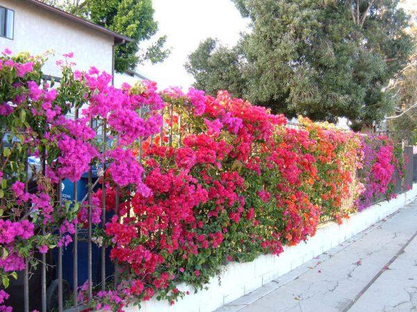 Ý nghĩa của cây hoa giấy – loài hoa tượng trưng cho tình cảm gia đình