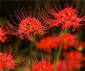 Ý nghĩa của hoa bỉ ngạn – loài hoa của sự phân ly