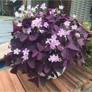 Ý nghĩa của hoa bướm đêm – loài hoa mang vẻ đẹp huyền bí