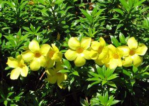 Ý nghĩa của hoa hoàng anh – nàng thơ mùa thu