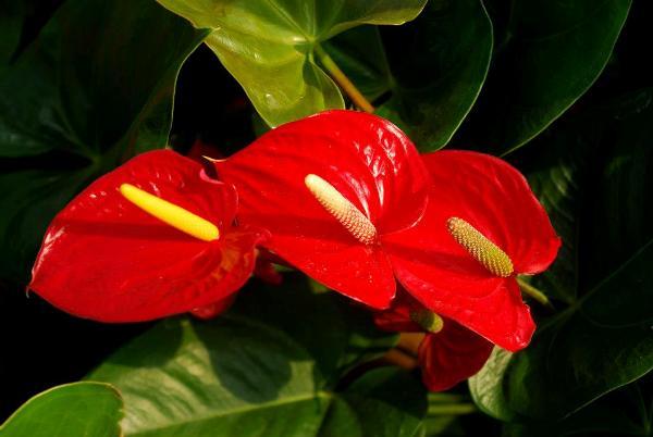 Ý nghĩa của hoa hồng môn – biểu tượng cho tình yêu và lòng hiếu khách