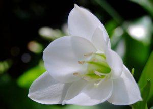Ý nghĩa của hoa ngọc trâm – biểu tượng tuổi trẻ
