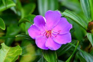 Ý nghĩa của hoa sim – loài hoa biểu tượng cho lòng chung thuỷ