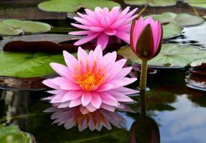 Ý nghĩa của hoa súng – loài hoa nhẹ nhàng thanh thoát