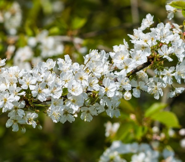 Ý nghĩa của hoa táo gai – loài hoa hi vọng