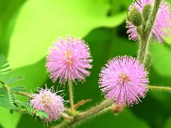 Ý nghĩa hoa trinh nữ - loài hoa thẹn thùng e ấp