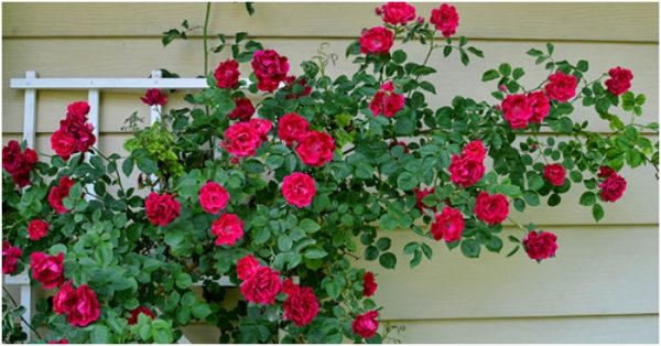 Cách chăm sóc hoa hồng leo đẹp thơm 4 mùa