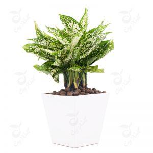 Ý nghĩa của cây ngọc ngân trong phong thuỷ