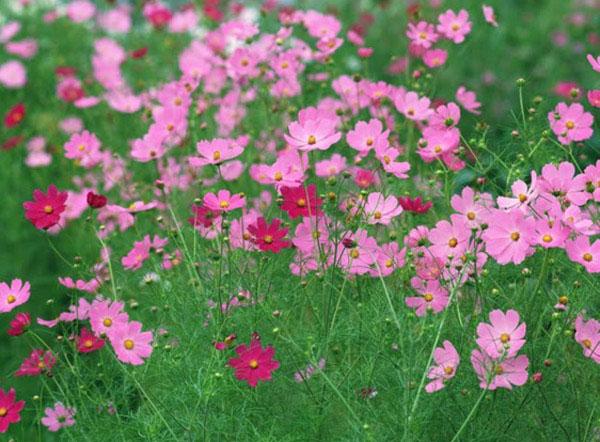 Ý nghĩa của hoa cánh bướm trong tình yêu và cuộc sống