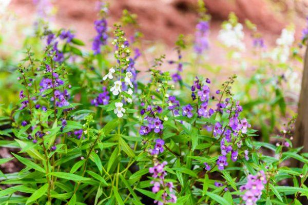 Ý nghĩa của hoa ngọc hân – vẻ đẹp cuốn hút mọi ánh nhìn