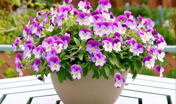 Ý nghĩa của hoa pansy cánh bướm