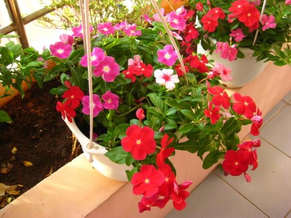 Cách chăm sóc hoa hải đằng cho ra hoa đẹp nhất