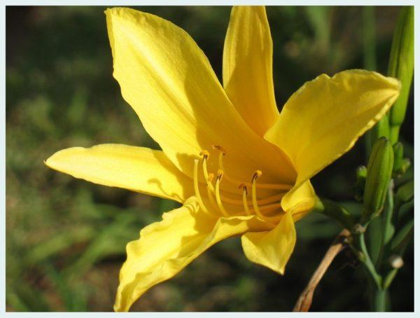 Tác dụng thần kỳ của hoa kim châm