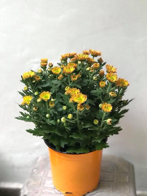 Các loại hoa cúc ngày Tết rước tài lộc về nhà